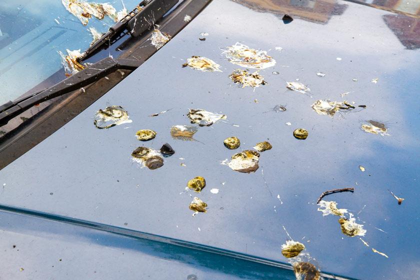 Fientes d'oiseaux: quelles astuces pour nettoyer sa voiture?